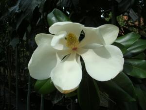 Magnolia grandiflora Nannetensis
