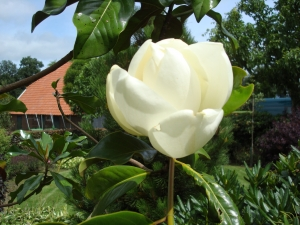 Magnolia grandiflora Samuel Sommer