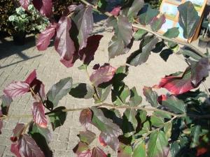 parrotia persica bella spalierb ume baumschule albert leemreize ruurlo nl. Black Bedroom Furniture Sets. Home Design Ideas
