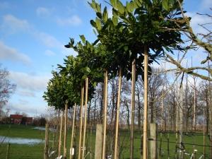 Prunus lauroceracus Etna