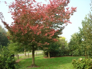 Prunus sargentii Rancho