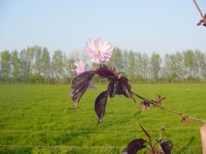 Prunus serrulata Royal Burgundy