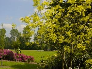 Ptelea trifoliata Aurea