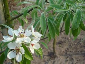 Pyrus elaeagnifolia