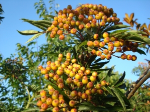 Sorbus amabilis