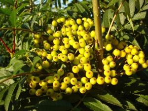 Sorbus Autumn Spire