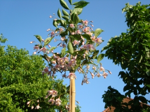 Styrax japonicus Pink Chimes