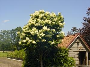 Syringa reticulata Ivory Silk