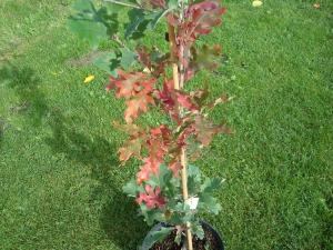 Quercus x bimundorum Crimson Spire