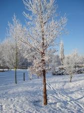 Afbeelding 2   Acer griseum - Bomen met mooie takken en/of ...