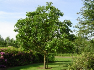 Quercus dentata Carl Ferris Miller