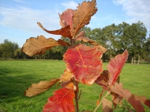 Quercus dentata Sir Harold Hillier