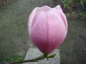 Magnolia Columnar Pink