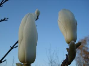 Magnolia loebneri Donna
