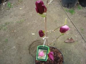 Magnolia March Till Frost