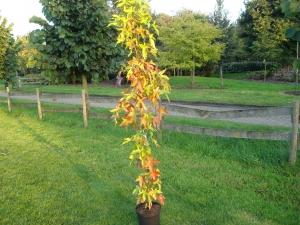Liquidambar styraciflua ' slender silhouette ' (zuilvormige amberboom)