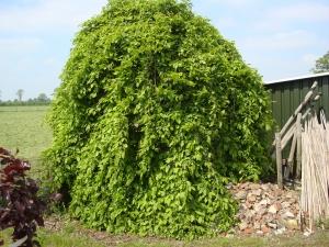Carpinus betulus Pendula