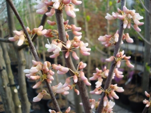 Cercis canadensis Pauline Lily
