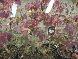 Cornus kousa Wieting's Select
