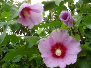 Hibiscus X Resi