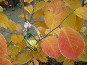 Magnolia Goldstar