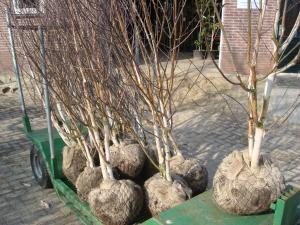 Betula utilis Doorenbos