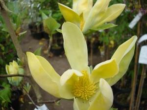 Magnolia acuminata Kinju