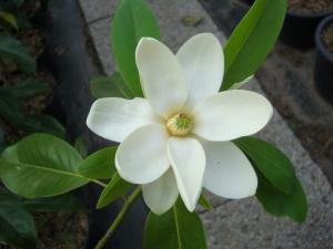 Magnolia virginiana Moonglow
