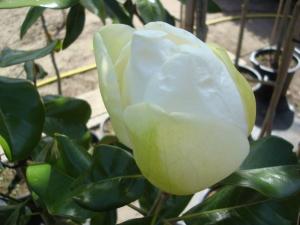 Magnolia grandiflora Tréyvei