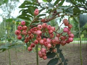 Sorbus Pink Pearl