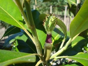 Magnolia grandiflora Flore Pleno