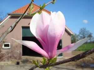 Magnolia Royal Crown