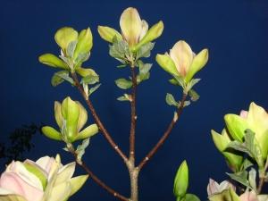 Magnolia Sunsation