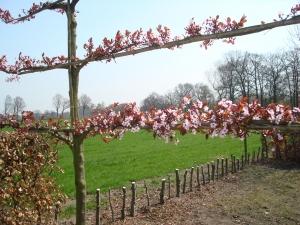 afbeelding 2 prunus cerasifera nigra spalierb ume baumschule albert leemreize ruurlo nl. Black Bedroom Furniture Sets. Home Design Ideas