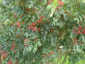 Sorbus amabilis