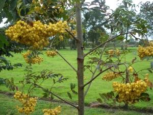 Sorbus Ethel's Gold