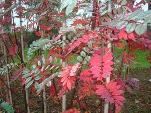 Sorbus hupehensis November Pink