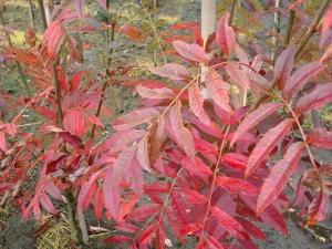 Sorbus Kewensis