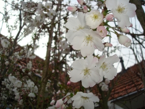Prunus The Bride
