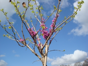 Cercis chinensis Don Egolf