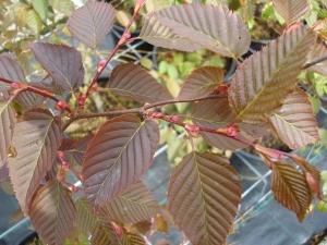 Carpinus laxiflora var. fargesii