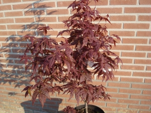 Acer palmatum Péve Ollie
