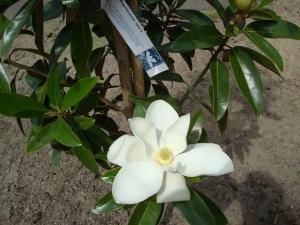 Magnolia grandiflora Alta ®