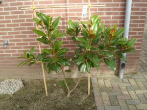 Magnolia grandiflora Tulsa