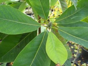Magnolia Nimbus