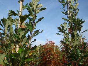 Quercus x warei Long Regal Prince