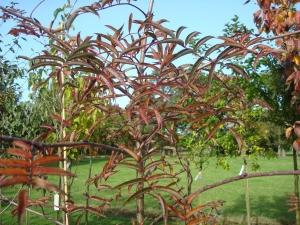 Sorbus commixta Carmencita