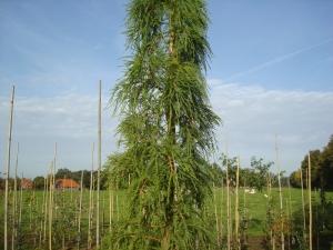 Taxodium distichum Pendens