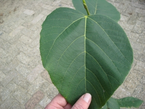 Tilia monticola