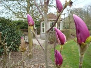 Magnolia Shirazz